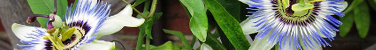 klimplanten, blog, tuin, huisbouwen.nl